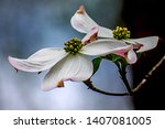 Dogwood Tree White Flower...