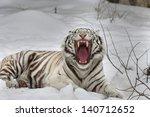 A Yawning White Bengal Tiger ...