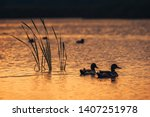 Silhouette look on the ducks in the lake water during the sunrise.   - stock photo