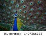 Indian Peacock  Closeup ...