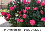 Stock photo pink rose shrub in the street in spring prolific blooming pink rose shrub in the street large 1407293378
