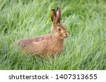 Stock photo wild hare beautiful close up in evening sun stunning detail of the brown hare lepus europaeus 1407313655