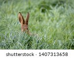 Stock photo wild hare beautiful close up in evening sun stunning detail of the brown hare lepus europaeus 1407313658