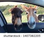 donkey pose in karpaz  north... | Shutterstock . vector #1407382205