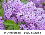 Beautiful Lilac Flowers With...