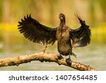 Pygmy Cormorant   Microcarbo...