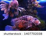 Lionfish Zebra  Or Zebra Fish ...