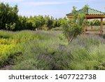 Lavender Farm. Lavender Field...