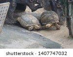 Stock photo the aldabra giant tortoise aldabrachelys gigantea from the islands of the aldabra atoll in the 1407747032