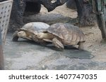 Stock photo the aldabra giant tortoise aldabrachelys gigantea from the islands of the aldabra atoll in the 1407747035
