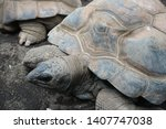 Stock photo the aldabra giant tortoise aldabrachelys gigantea from the islands of the aldabra atoll in the 1407747038