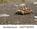 Stock photo a baby african spurred tortoise or sulcata tortoise 1407769595