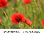 field with red poppies in spring | Shutterstock . vector #1407853502