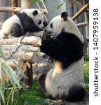 Small photo of Panda mother and cub at Chengdu Panda Reserve (Chengdu Research Base of Giant Panda Breeding) in Sichuan, China. Two pandas looking at each other. Subject: Pandas, Cub, Reserve, Chengdu.
