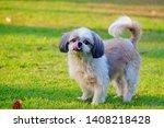 Young Shih Tzu Dog Standing An...