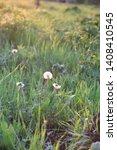dandelions  blowballs  in the...   Shutterstock . vector #1408410545