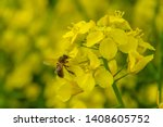Bee With Rape Flower In The...