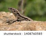 lacerta agilis  sand lizard... | Shutterstock . vector #1408760585