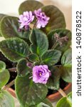 Small photo of Blooming African violet/African violet/African violet