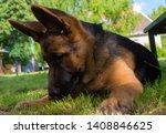cute puppy of german sheperd...   Shutterstock . vector #1408846625