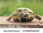 Stock photo the central asian tortoise also known as the brown asian tortoise walks along a red stone 1408896065