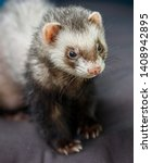 Small photo of loved skulk coloured ferret on the balcony smiling and cleaning its pelt happily