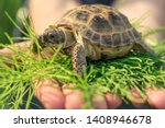 Stock photo the central asian tortoise also known as the asian brown tortoise sits on a horsetail stalk in 1408946678