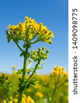 Balsam Ragwort Growing In The...
