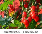 Red Cluster Tomato Plant And...