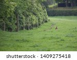 Stock photo hare and rabbit leporidae a hare cleaning itself as a rabbit grazes nearby 1409275418