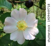 Stock photo macro photo nature blooming bud dog rose background of opened buds of wild rosa canina with rose 1409449718