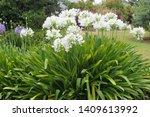 White Flowering Agapanthus...