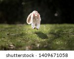 Stock photo front view of a cream colored beige white maine coon kitten jumping over the lawn towards camera 1409671058
