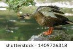 The Eastern Spot Billed Duck O...