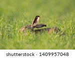 Stock photo european brown hare lepus europaeus 1409957048