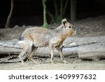 Dolichotis Patagonum Exotic Hare Walking