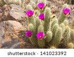 Scarlet Hedgehog Cactus...