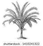 phoenix reclinata is a type of... | Shutterstock .eps vector #1410241322