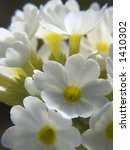 White Primula  Primrose Acaulis