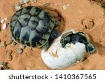 Stock photo western hermann tortoise coming out of the egg 1410367565