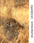 photo of a cheetah in the sabi... | Shutterstock . vector #14106493