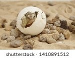 Stock photo africa spurred tortoise are born naturally tortoise hatching from egg cute portrait of baby 1410891512