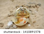 Stock photo  africa spurred tortoise are born naturally tortoise hatching from egg cute portrait of baby 1410891578