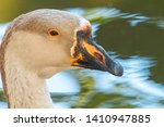 Portrait Of Chinese Goose Clos...