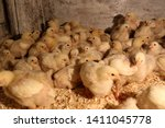 Many Poultry Chicks In The...