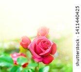 pink garden rose with warm...   Shutterstock . vector #1411440425