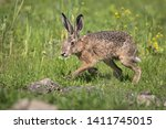 Stock photo wild brown hare running across the meadow in early morning light 1411745015