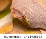 Silvan Flat Bark Beetle ...