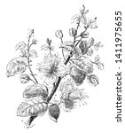 a genus  capparis of the family ...   Shutterstock .eps vector #1411975655