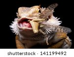 Male Bearded Dragon Swollowing...